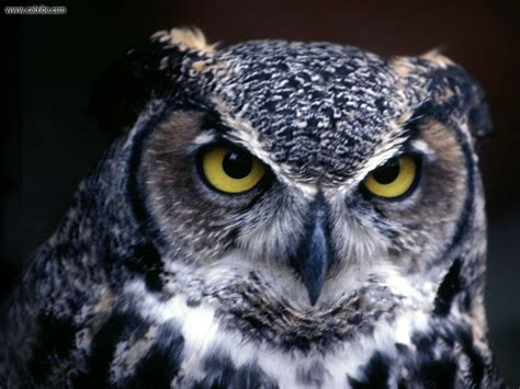 Owl Wallpaper by Owl Wallpapers Health And Beautiful
