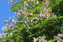 liguster stecklinge ziehen trompetenbaum vermehren 187 so ziehen sie stecklinge