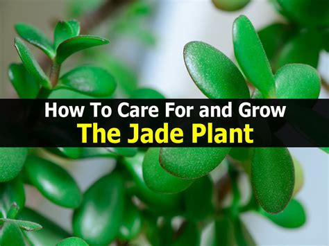 How To Care For And Grow The Jade Plant