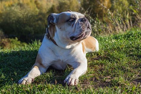 how much do american bulldogs shed low energy breeds you can be lazy with simplemost