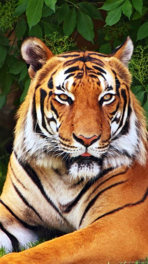 Iphone 6 Animal Wallpaper - iphone 6s plus animal tiger wallpapers id 583608 desktop