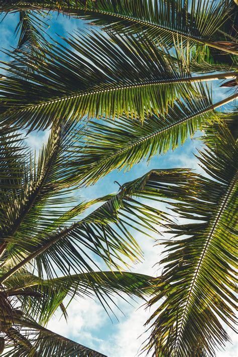 palm tree pictures hd   images  unsplash