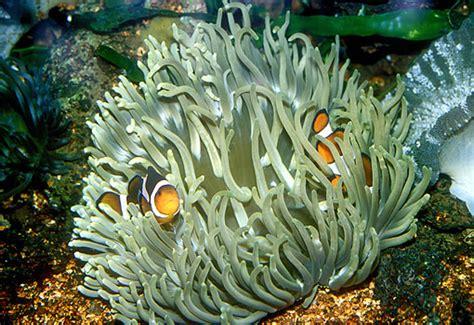 anemone de mer aquarium anemone de mer verte