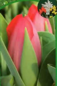 Sind Ranunkeln Winterhart : tulpe wei gef llt pflanzen versand harro 39 s pflanzenwelt kaufen bestellen online ~ Markanthonyermac.com Haus und Dekorationen