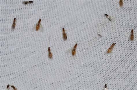 thief ants control  rid  thief ants orkincom