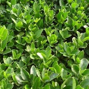 Arbuste Persistant Haie : les 53 meilleures images du tableau plantes de haie sur ~ Premium-room.com Idées de Décoration
