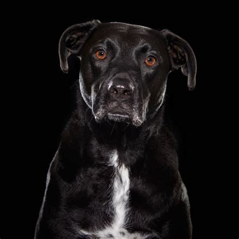 black dog series showcases beauty  overlooked rescue dogs