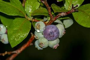 Heidelbeeren Pflanzen Balkon : heidelbeeren pflanzen von der standortwahl bis zur ernte ~ Lizthompson.info Haus und Dekorationen