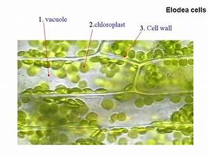 Organelle Pictures