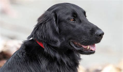 Does Flat Coated Retriever Shed by Flat Coated Retriever Breed Information