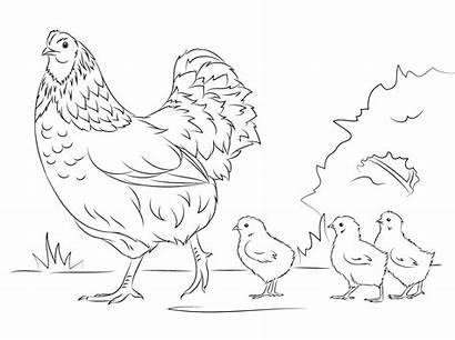 Hen Coloring Chicks Mewarnai Ayam Gambar Poule