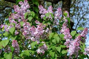 Magnolien Vermehren Durch Stecklinge : edelflieder vermehren so geht 39 s ~ Lizthompson.info Haus und Dekorationen