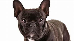 French Bulldog Health & Care Information - American Kennel ...