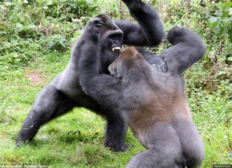 Gorillas Fighting