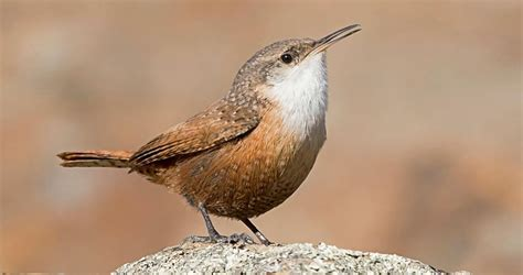 canyon wren overview all about birds cornell lab of