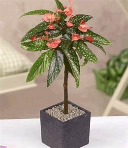 begonien stammchen top zimmerpflanzen kaufen baldur garten With garten planen mit ausgefallene zimmerpflanzen kaufen