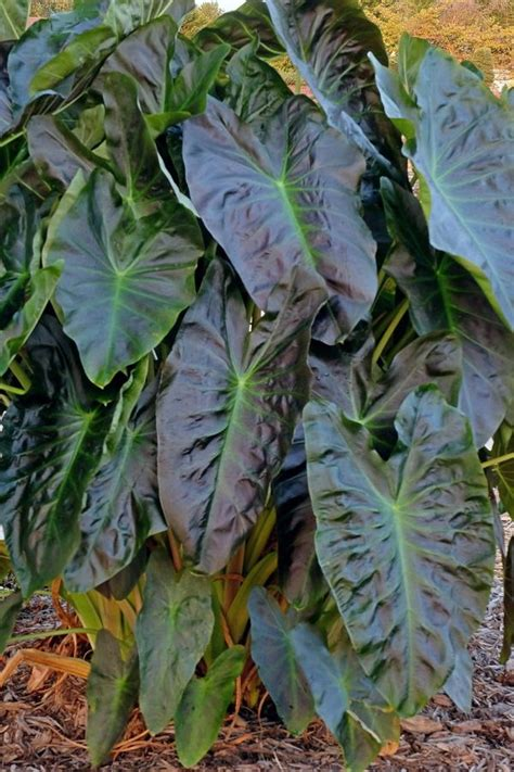 elephant ear plants for sale colocasia esculenta aloha ppaf aloha elephant ear for sale 21 00 plant delights nursery
