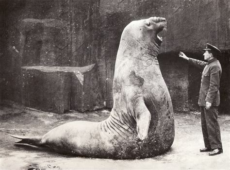 Walrus Vs Elephant Seal by File Acme Newspictures This Sea Elephant Knows His Stuff