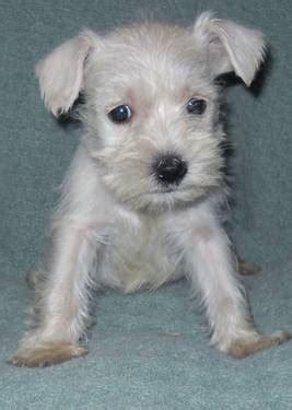 cute puppy dogs white miniature schnauzer puppies