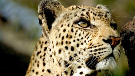 Leopard Queen  National Geographic Channel Subsaharan