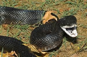snake species western rat snake black rat snake little