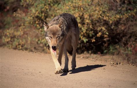 wolf species profile alaska department  fish  game