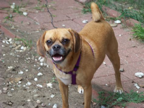 do puggles shed a lot of hair do pocket puggles shed 28 images puggle breed