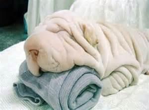 shar pei a dragon dog with wrinkles