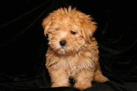 Nonshedding Dog Breeds  Awww Can I Have It?! Pinterest