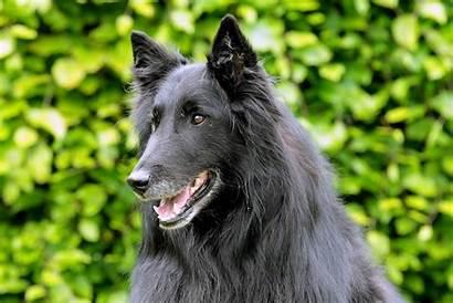 Groenendael Dog Breed Breeds Head Maintenance Learn