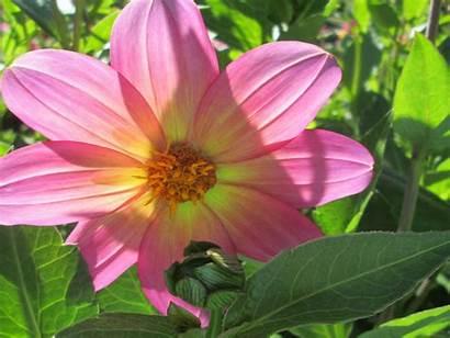 Flower Pink Dahlia Wallpapers13