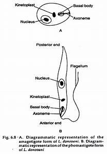 Leishmania Donovani  With Diagram