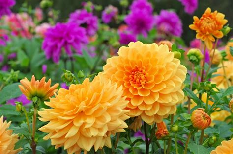 When To Plant Dahlia Bulbs