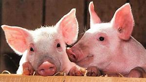 5 Reasons Pigs Make Awesome Pets