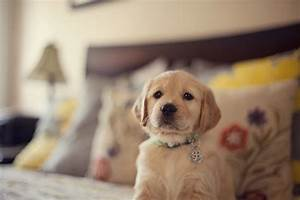 Are Golden Retriever Puppies The Cutest?