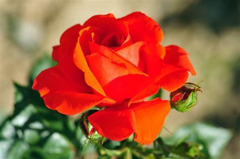 Foto Blumenstrauß Kostenlos by Blumen Blumen Bilder Kostenlos Herunterladen Bilder