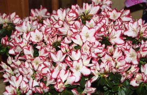 azal 233 e en pot photo de fleurs le de colette villeparisis tout ce que j aime