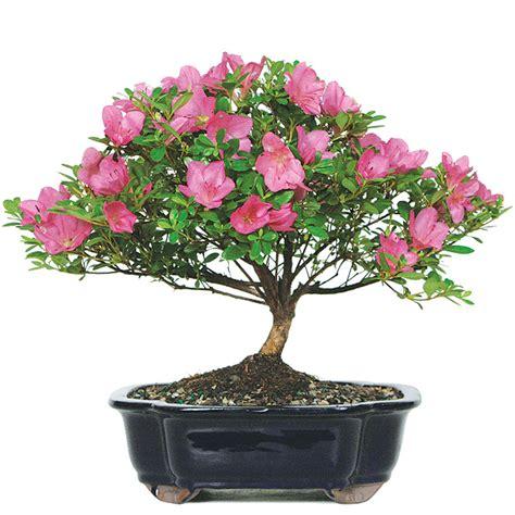 satsuki azalea bonsai care