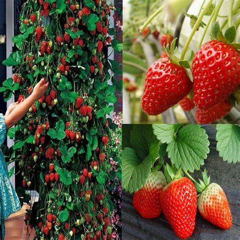 200pcs Red Climbing Strawberry Seeds Fruit Vegetables