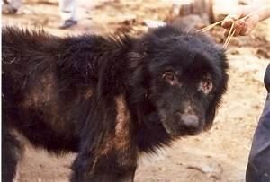 Leishmania infantum in a Dog | Parasites World