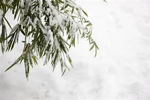 Olivenbaum Stecklinge Kaufen : roter bambus winterhart roter bambus 140 150cm winterhart ~ Michelbontemps.com Haus und Dekorationen