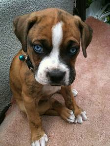 45+ Amazing White and Brown Boxer Dog - Golfian.com