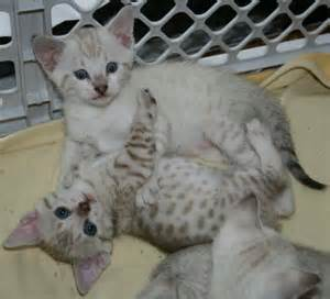 snow bengal cat junglelure bengals