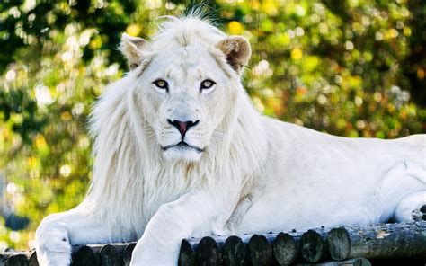 White Lion, HD Animals, 4k Wallpapers, Images, Backgrounds