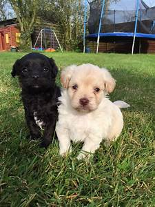 Chi-POO PUPPIES FOR SALE | Braintree, Essex | Pets4Homes