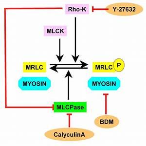 Schematic Diagram Showing The Relationships Between Myosin