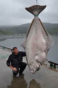 515-Pound Halibut Caught By Marco Leibenow Near Norway May ...