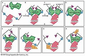 Induced-fit Theory  Enzyme-substrate Binding