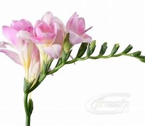 Double Freesia Pink Honeymoon - Freesia - Flowers and ...