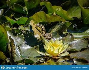 Green Frog On A Water Lily Leaf Stock Image